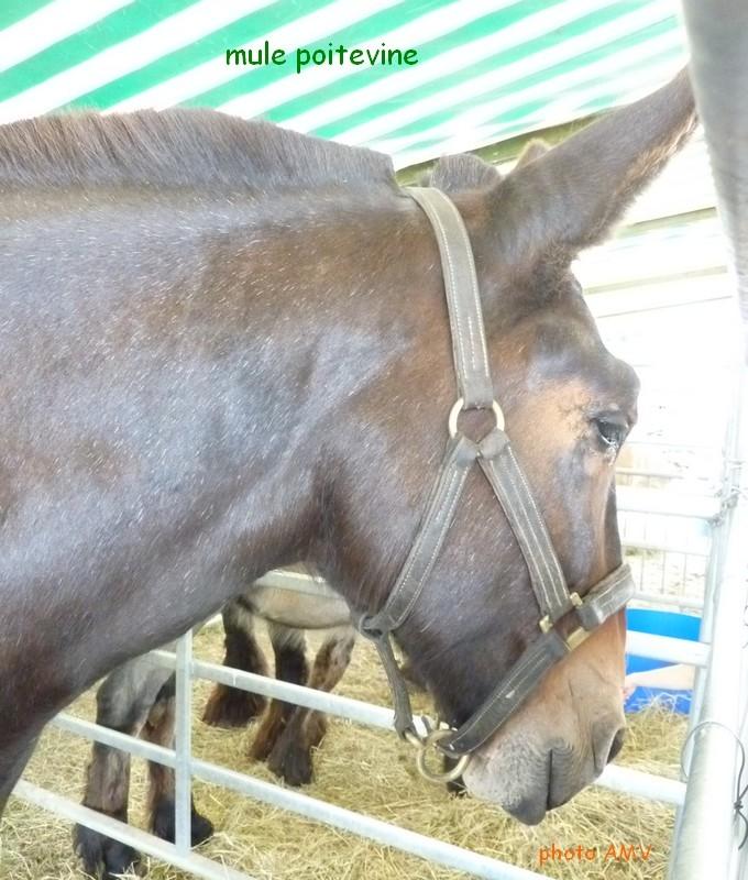 mule poitou