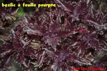 feuille pourpre
