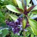 fleurs mauve et violette