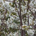 cerisiers-en-fleurs-01