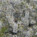 cerisiers-en-fleurs-03