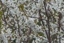 cerisiers-en-fleurs-02