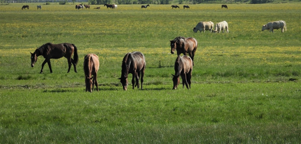 chevaux dans herbes
