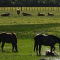 cheveaux vaches