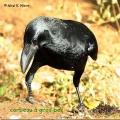 corbeau gros bec