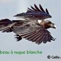 corbeau nuque blanche