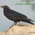 corbeau queue courte