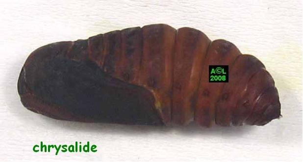 chrysalide 2