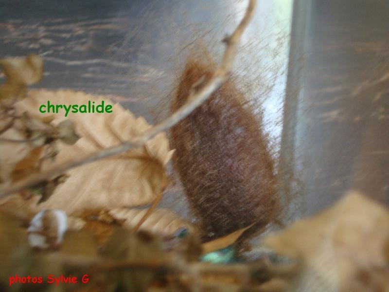 chrysalide 3