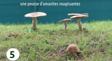 amanites-rougissantes