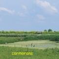cormorans2