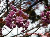 cerisier rouge