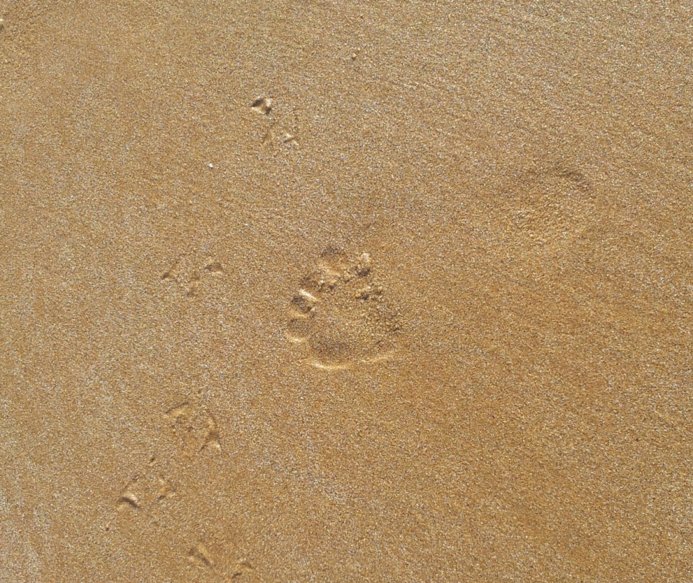 traces pied