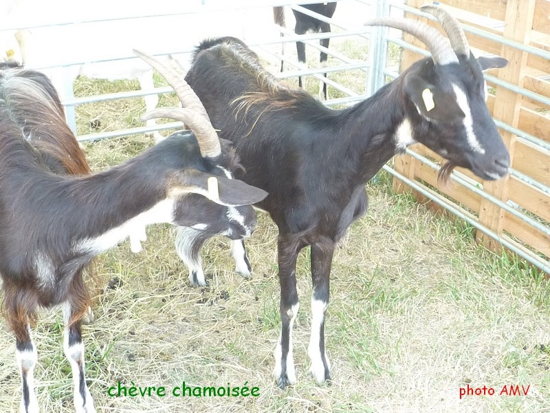 chevre chamoisee