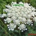 carotte 2